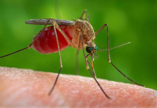 Mosquito ¿el animal más peligroso del mundo?