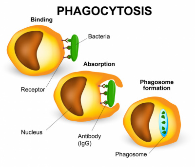 Fagocitosis (imatge: Misistemainmune.es)